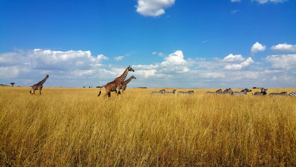 Giraffe and Zebra in the Maasai Mara in Kenya