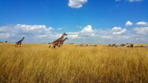 Giraffe and zebra on the plains in Maasai Mara