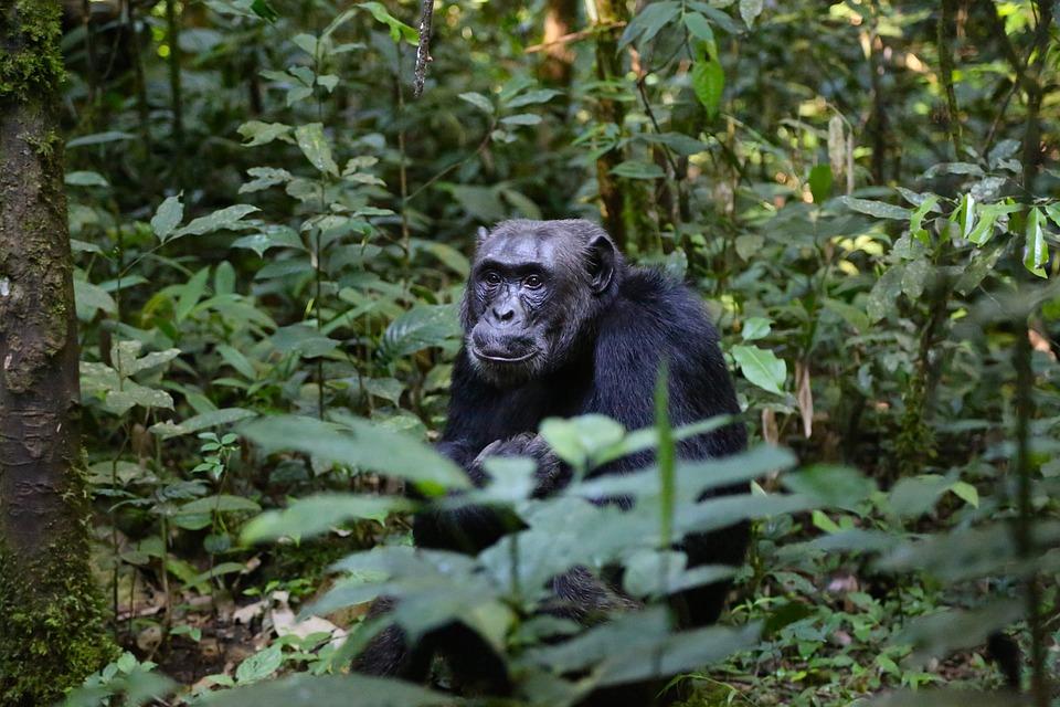 a Chimpanzee in Uganda