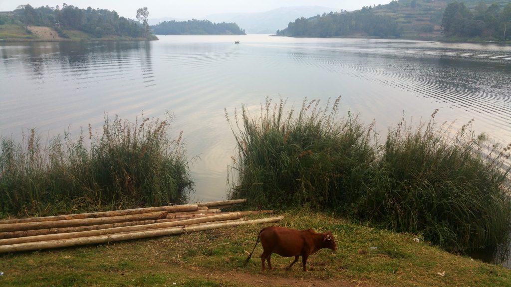 Cow grazing on the shore of Lake Bunyonyi, Uganda