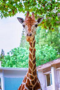 A giraffe in Nairobi