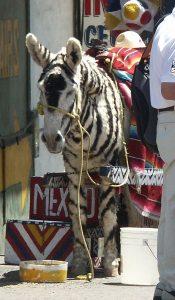 """Tijuana Zebra or """"Zonkey"""""""