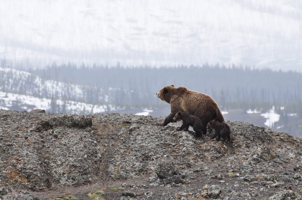 Mother bear and babies walking over rocks