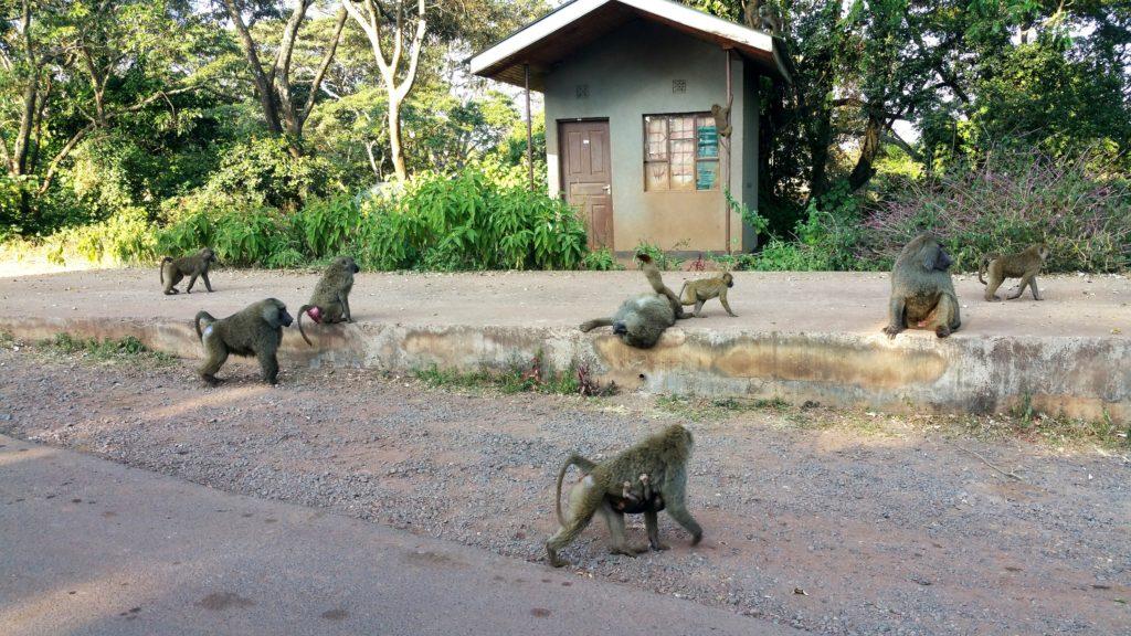 Baboons in Tanzania
