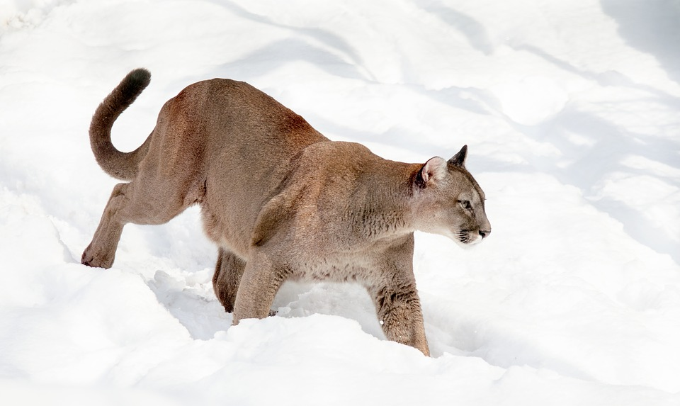 Mountain lion walking in the snow