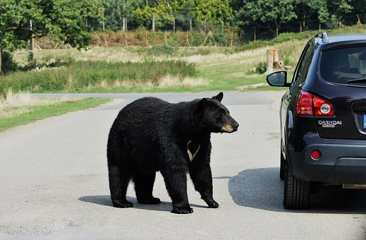 Black bear next to a car