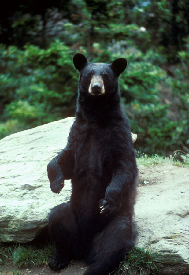 A large black bear sitting up