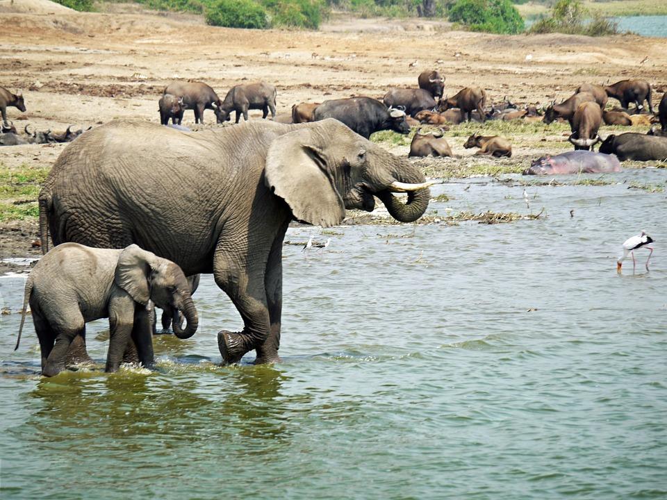 Elephants in Queen Elizabeth National Park, Uganda