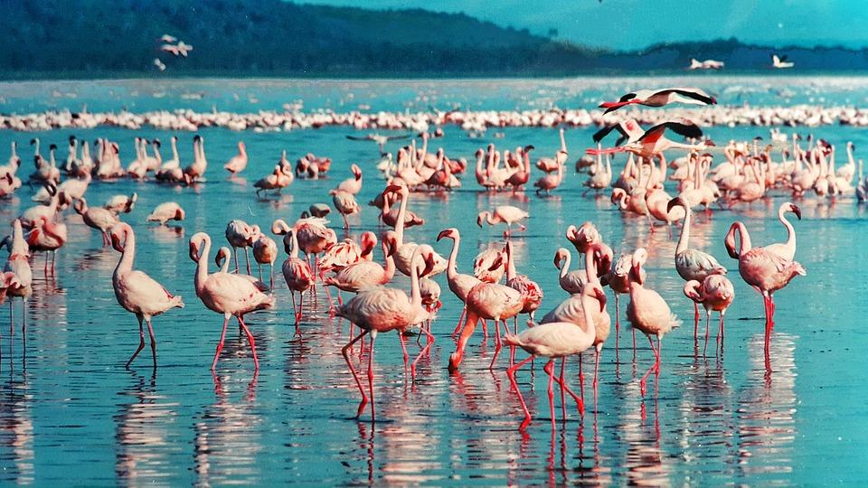 Flamingos in Lake Bogoria, Kenya