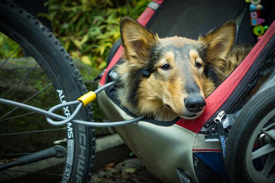 a dog in a bike trailer
