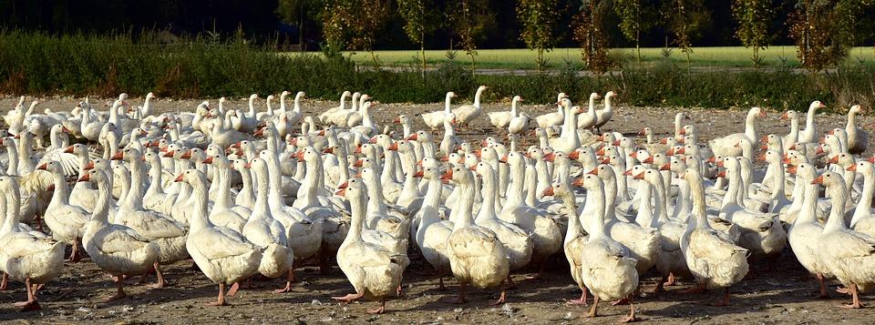geese on a farm