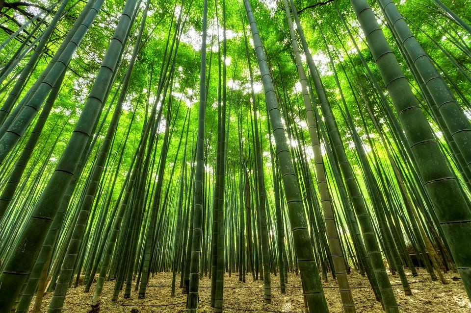 bamboo growing naturally